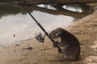 Koala Goes Fishing With Unattended Pole