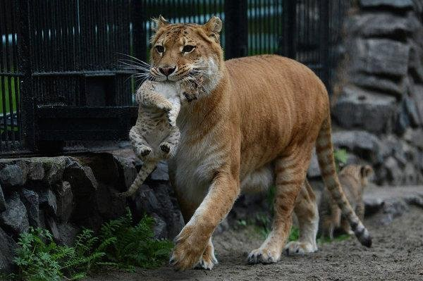 Liliger Cubs Born At Russian Zoo