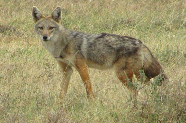 Golden jackals of East Africa and Eurasia are actually two species     The newly named African golden wolf  seen in Serengeti National Park   Tanzania  Photo by D  Gordon E  Robertson UCLA