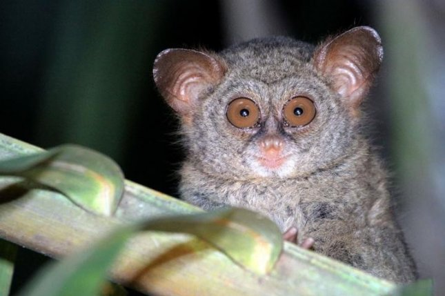The Sangihe Tarsier,a primate living on the Indonesian island of Sangihe, is one of several vulnerable species threatened by deforestation caused by coconut production. Photo by Stenly Pontolawokang