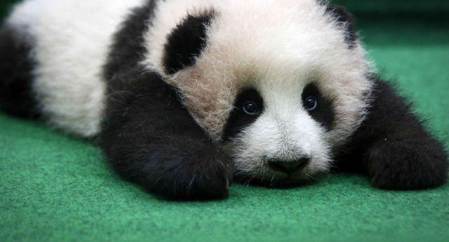 Znalezione obrazy dla zapytania pandy