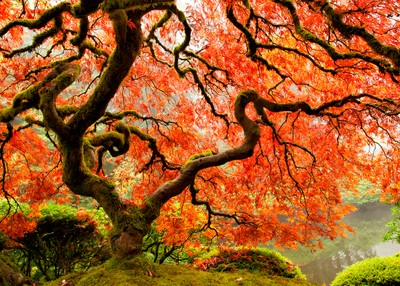 Japanese Maple at the Japanese Garden, Portland, OR by theoherbots
