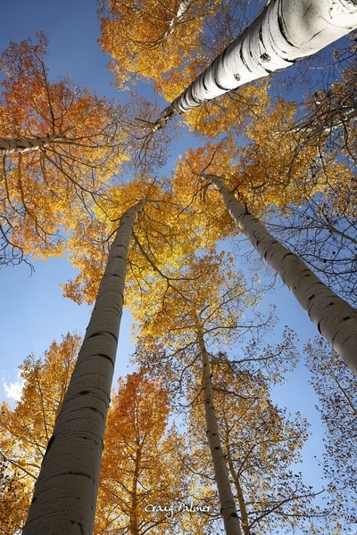 As I hiked through a Colorado aspen forest after the colors had peaked, I spotted a burst of color on the next slope and tracked it down. These few tr by theoherbots