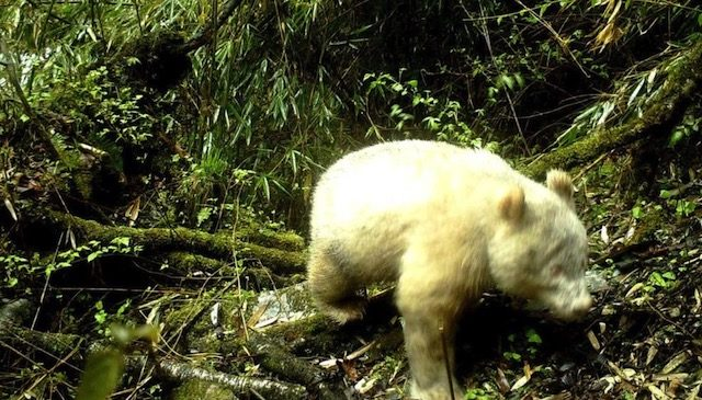 Camera Trap Captures First Known Albino Giant Panda