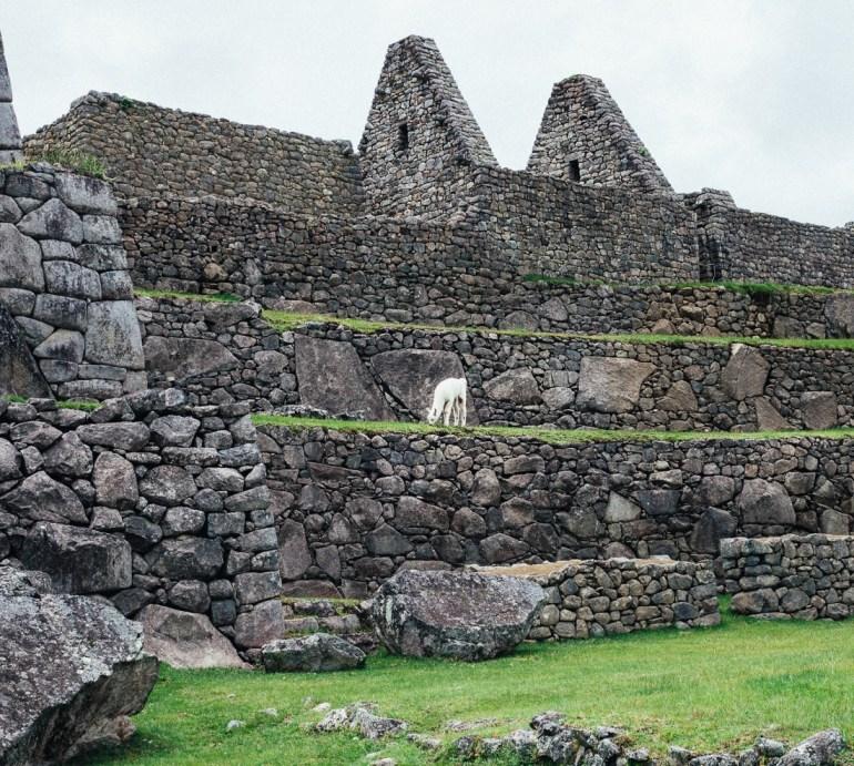 As lhamas estão por todos os lados de Machu Picchu.