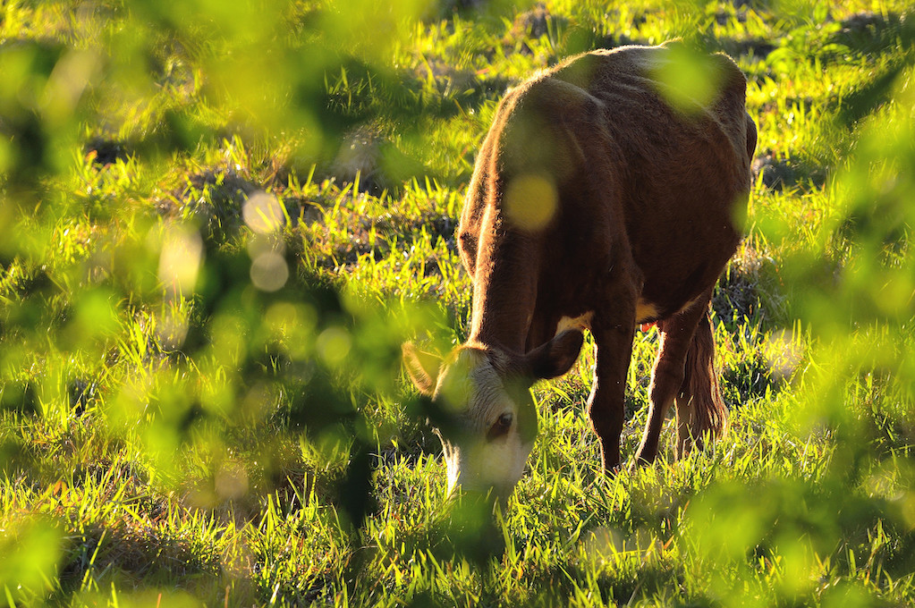 photo of cow eating grass in a field