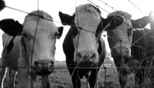 """""""Curious Cows""""(image via Flickr User Fat Mandy)"""