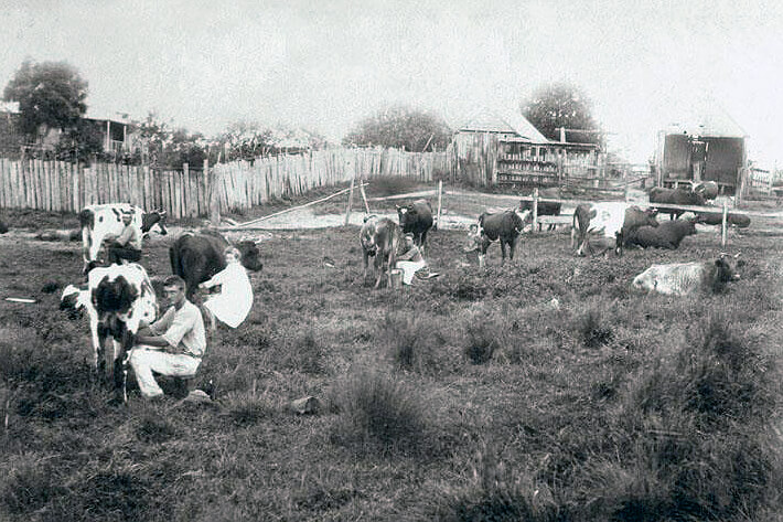 old photo of cows being milked on Australian farm