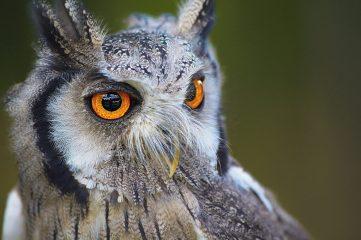 photo of an owl
