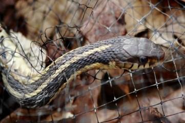 photo of a garter snake