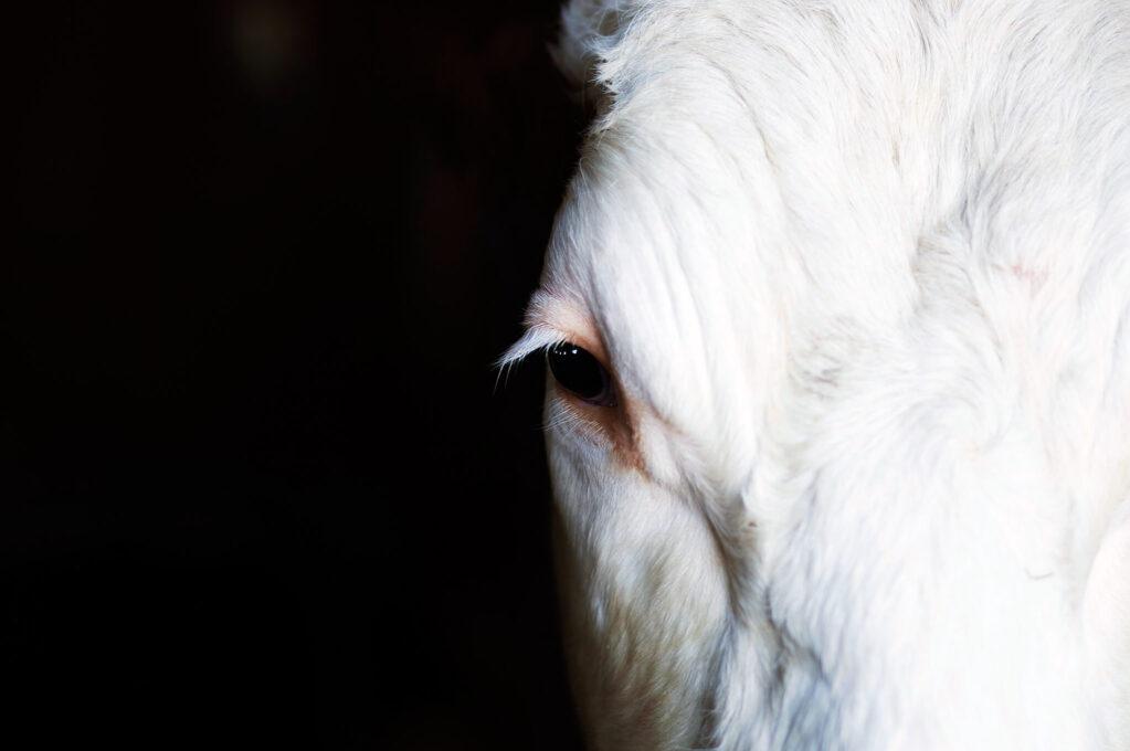 photo of cow's eye