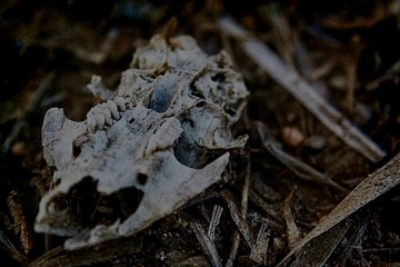 animal skull with teeth in the grassy dirt