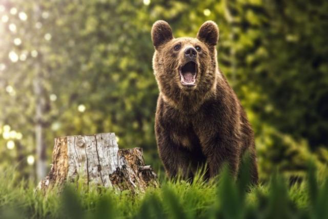 Primarii și viceprimarii vor decide dacă urșii vor fi uciși