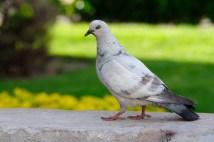 Una paloma blanca