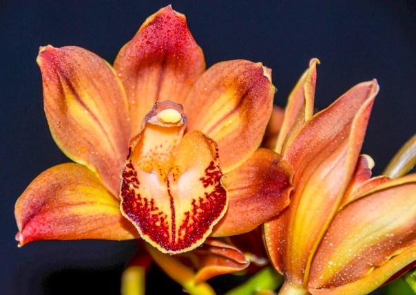Farm Flowers Cymbidium Orchid 2-21-14 (12)