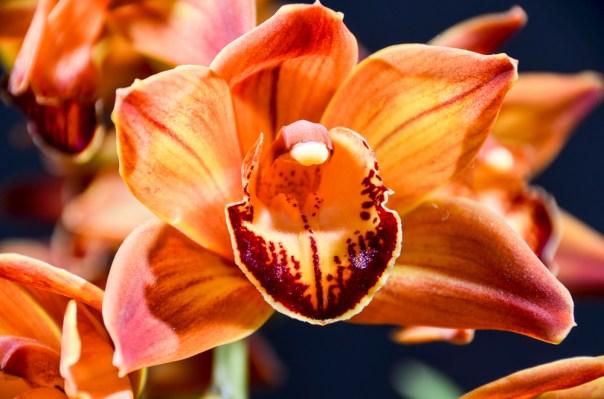Farm Flowers Cymbidium Orchid 2-21-14 (6)