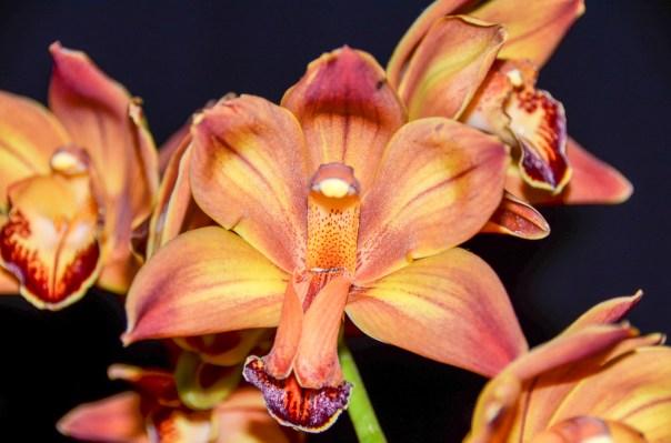 Farm Flowers Cymbidium Orchid 2-21-14 (8)