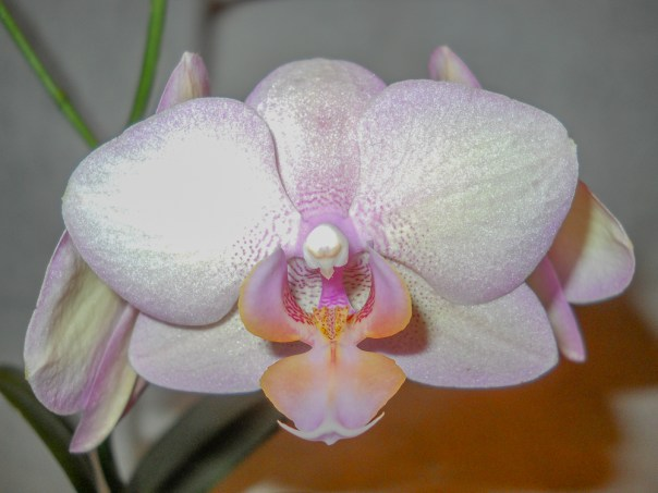 Orchids 2014 (8)