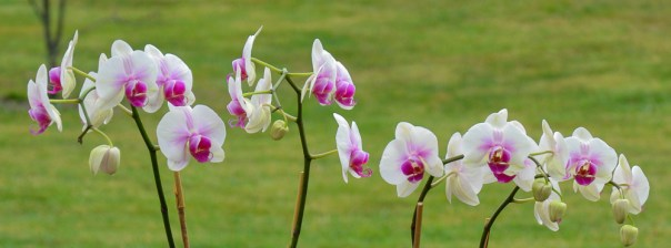 Orchids 3-18-12 (6)