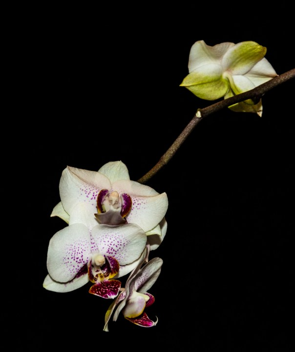 Phalenopsis Orchid 4-22-16 (16)