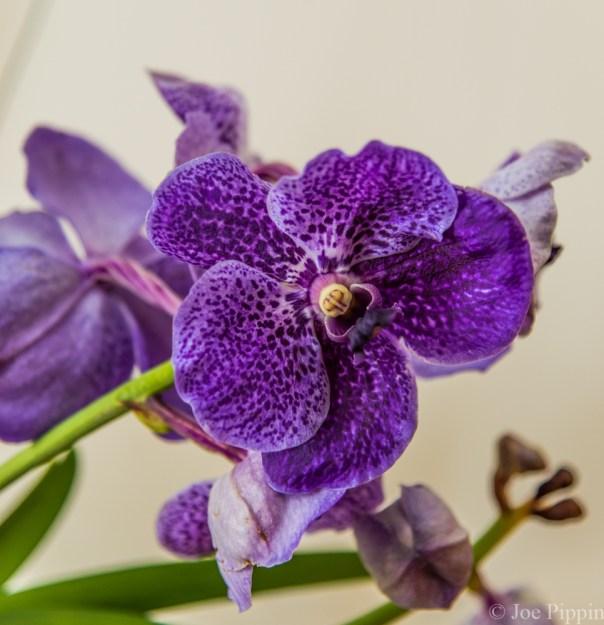 Vanda Orchid 1-22-16 (10)