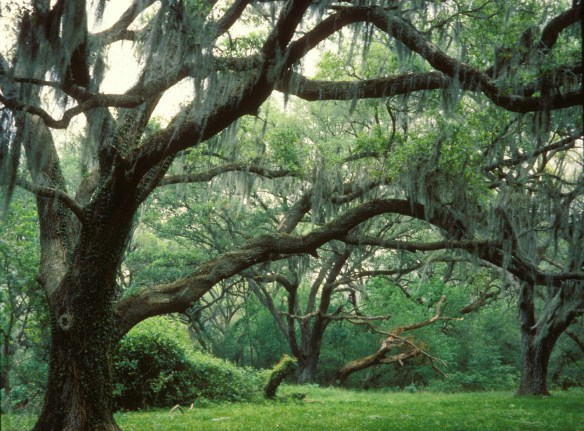 Brazos Bend State Park, located near Needville, Texas, southwest of Houston, is home to numerous huge and stately live oak trees, some of them more than 100 years old. © Texas Parks and Wildlife Department