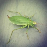 crazy leaf-like bug at the homestead