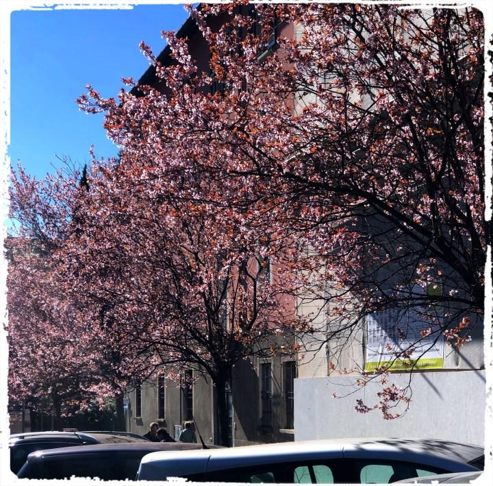 körsbärsträd.jpg