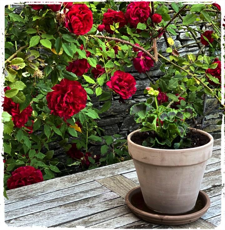 rosor o krukor