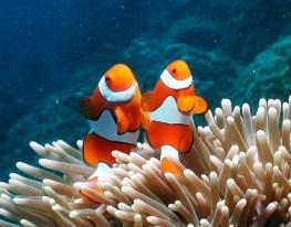 Clown-Anemonefish-Great-Barrier-Reef (c) toursincairns (dot) com (dot) au