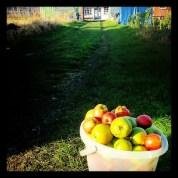 greenhouse allotment apples