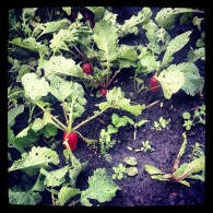 greenhouse beetroots