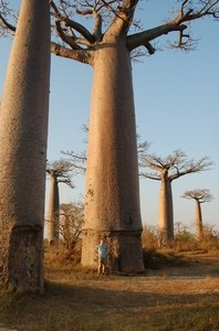 27-allee-baobabs-comparaison