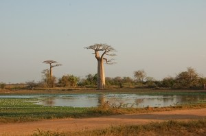 28-allee-baobabs-lac