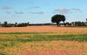 A long view of a field of ripe golden soybeans all the way to the tree line on the horizon.