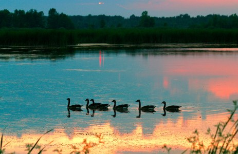 Silhouetted Canada geese swimming at sunset. Golden reflections in the foreground.