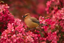 Cedar waxwing perched in a flowering crab with pink blossoms