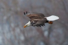 Bald Eagle, wings extended, in flight at Cassville, Wisconsin