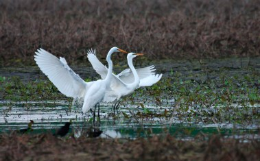 White egrets facing the same direction with wings spread open