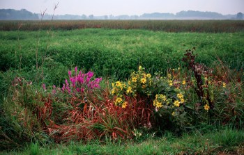 Wild flowers foreground - marsh landscape background.