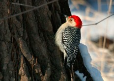 Red-bellied woodpecker on a treetrunk with snow in the background
