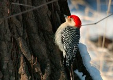 A red-bellied woodpecker on the side of a tree.