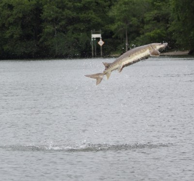 MAY 4 FWC STURGEON unnamed