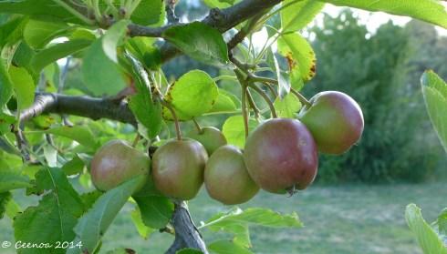 Growing Apples