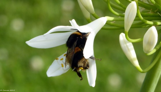Bumble Bee on Agapanthus (3)