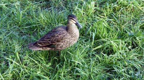 Wild Ducks (1)