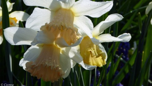 early Spring Daffodils (6)