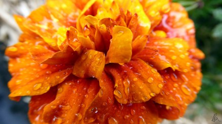 Marigold (2)