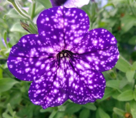 Petunia (2)