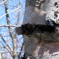 Bark Peal